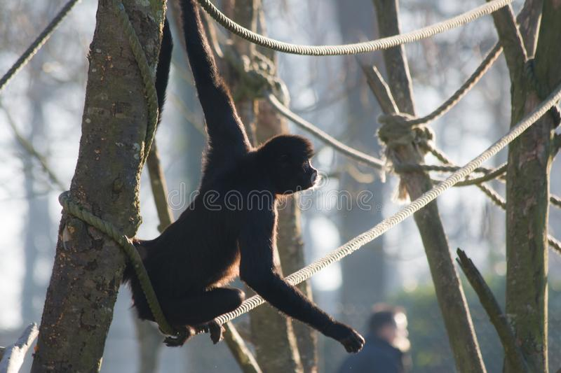 Spider monkey on the rope stock image