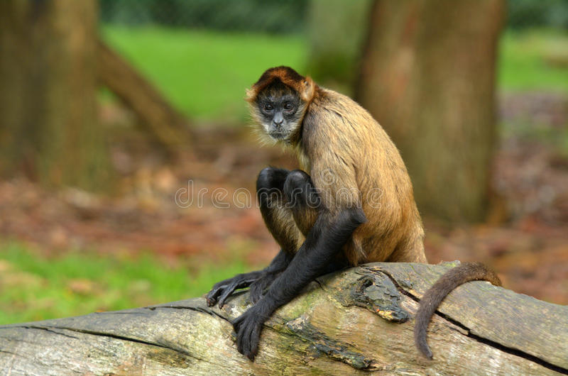 Spider Monkey sit on a tree trunk. Spider Monkey (Ateles geoffroyi) sit on a tree trunk.Looks at the camera. copyspace stock photography