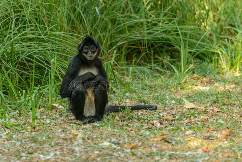 Spider monkey sitting on the ground. Zoo prague royalty free stock photography