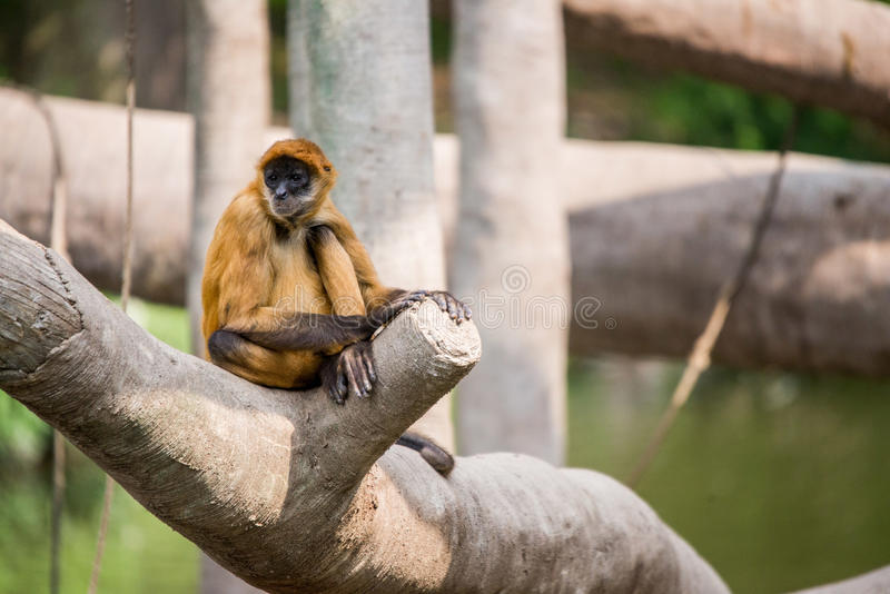 Spider monkey sitting on tree royalty free stock photography