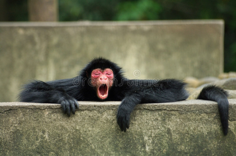 Spider Monkey yawning stock photography