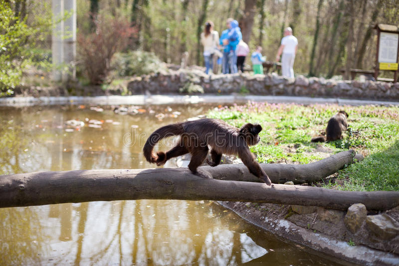 Spider monkey in the zoo. Black head spider monkey walking over branch in the zoo royalty free stock images