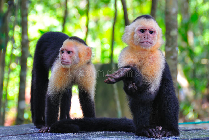 Download Spider Monkeys, Costa Rica Stock Photo - Image: 16624240