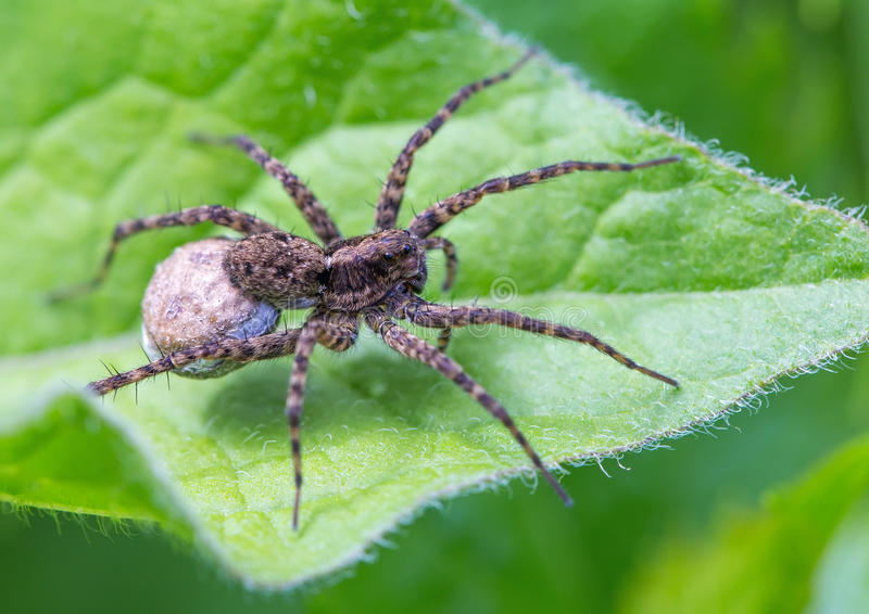 Download Spider Stock Photography - Image: 31806032