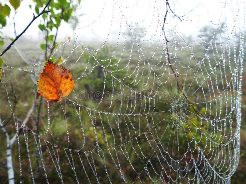 Spider net and birch tree leaf with morning dew, Lithuania royalty free stock photo