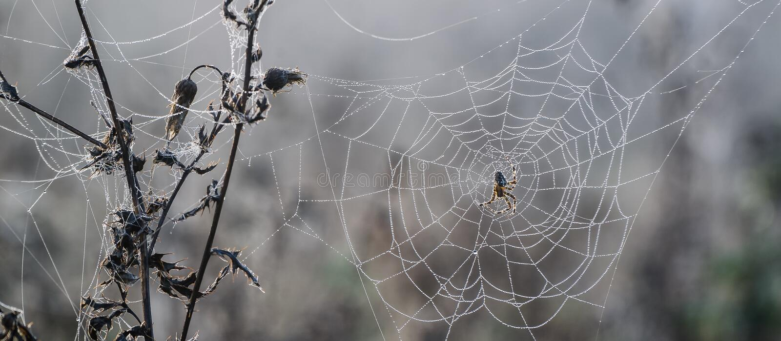 SPIDER ON A PEARLY COBWEB royalty free stock photography