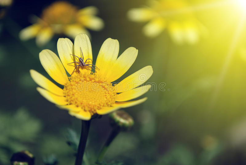 Download Spider On Petal Of Yellow Flower Stock Image - Image: 22677407