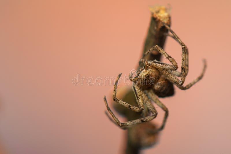 Download Spider - Philodromus stock photo. Image of animal, abdomen - 29987122