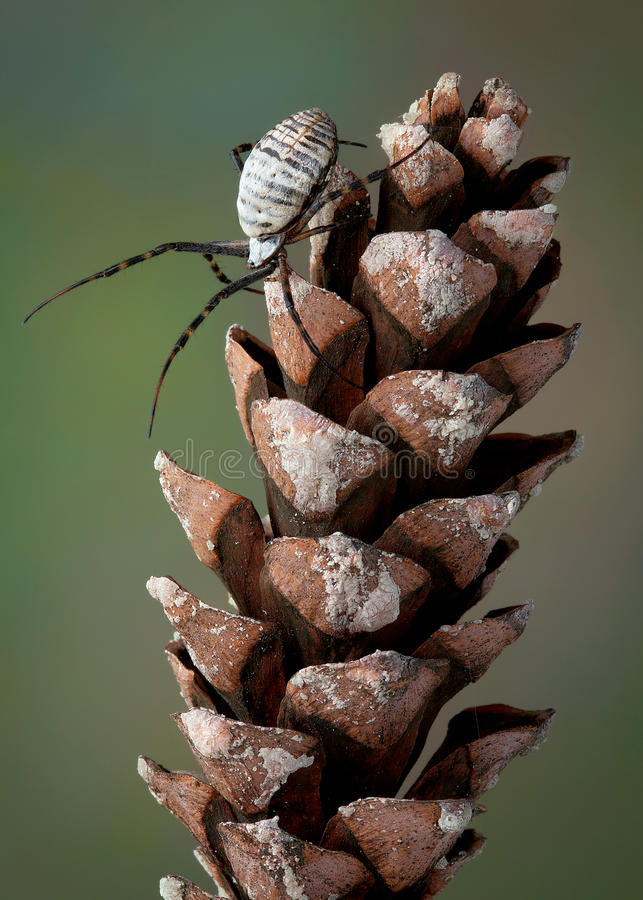 Download Spider on pine cone stock photo. Image of insect, vertical - 22665444