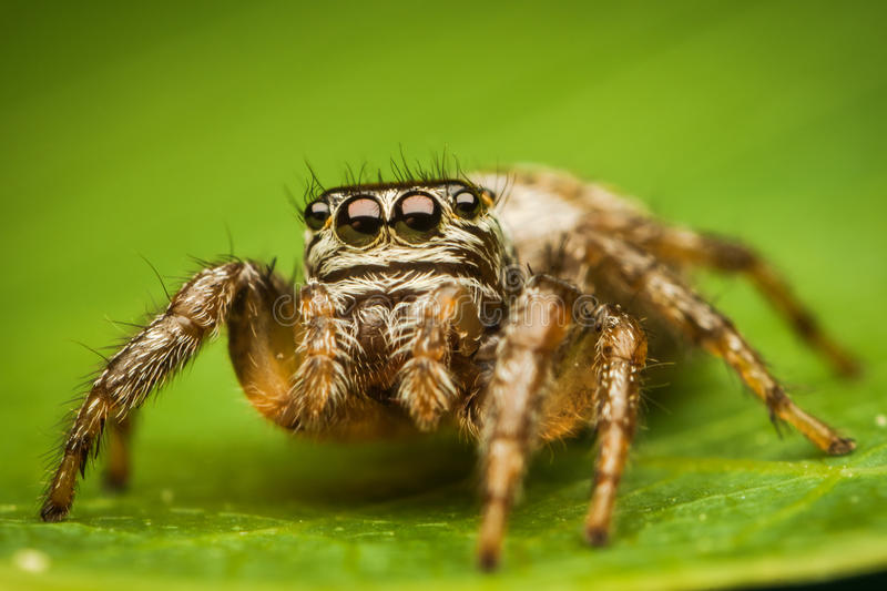 Download Spider portrait stock photo. Image of jumping, invertebrate - 24874412