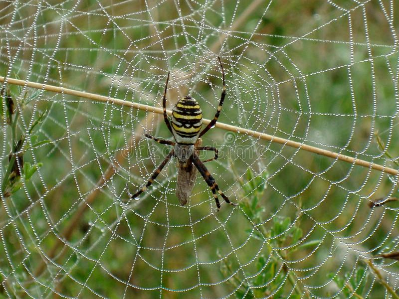 Spider predator preparing its web of filaments and dew to hunt for insects in the morning. Morning dew on the fine web of a spider. The spider is waiting for stock photography