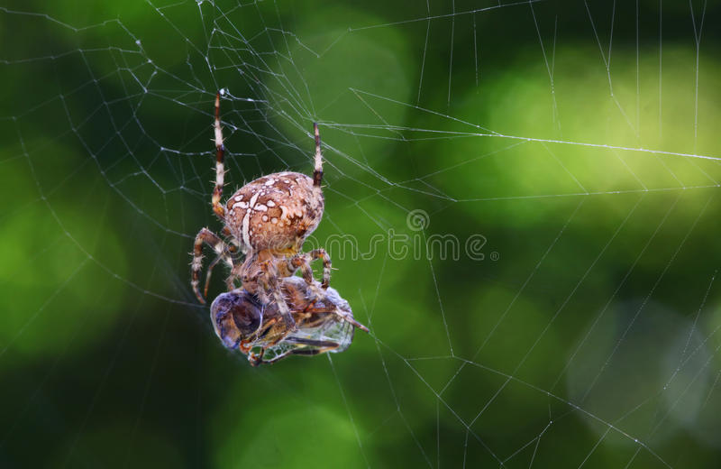Download Spider with prey stock photo. Image of dinner, insect - 11494822