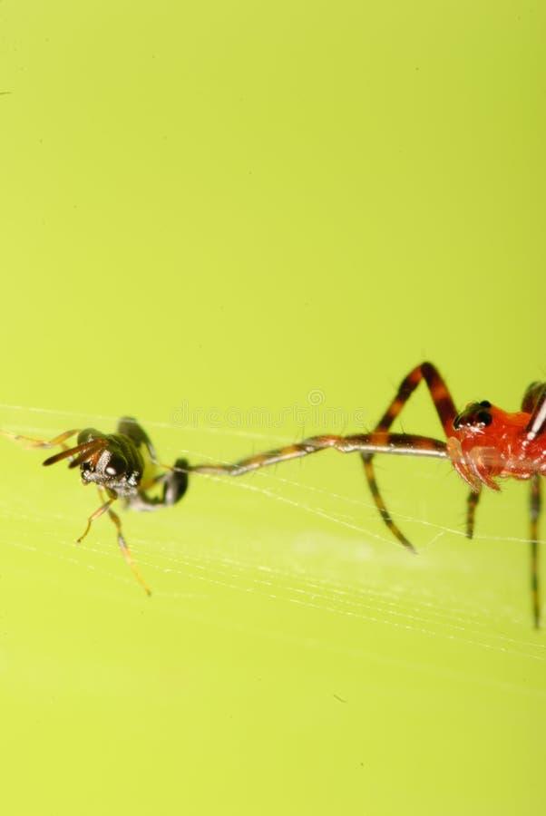 Spider prey