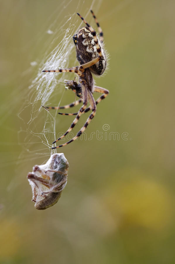 Spider prey royalty free stock image