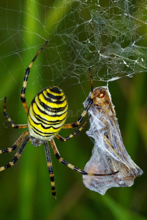 Spider prey royalty free stock photo