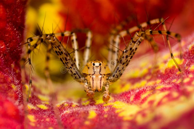Spider in red flower. Little spider in a flower stock photography