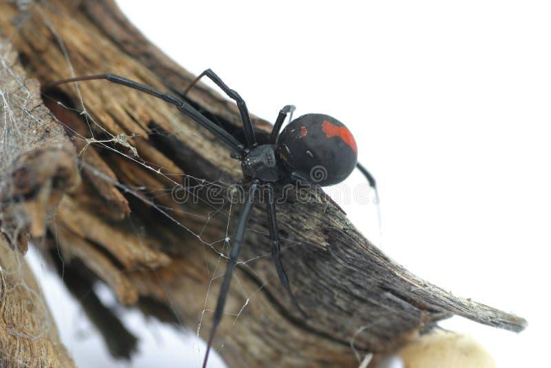 spider redback obraz stock