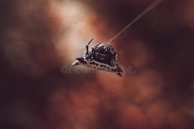 Spider in a Web. A spider resting in its web stock photos