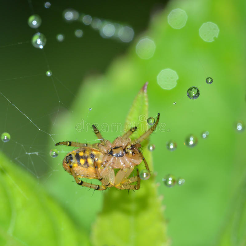 Download The spider's abdomen stock image. Image of dewdrops, shiny - 31888935