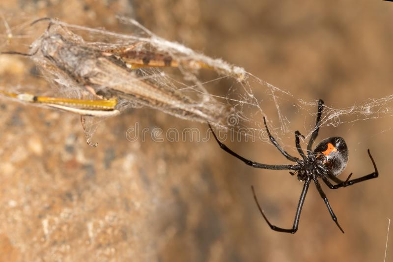 Black widow spider and catch.Black widows are notorious spiders identified by the colored, hourglass-shaped mark on their abdomens. This spider`s bite is much royalty free stock image