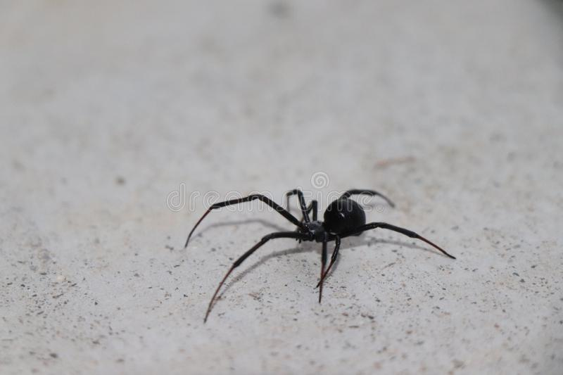 Very dangerous and poisonous black widow spider. This spider`s bite is much feared because its venom is reported to be 15 times stronger than a rattlesnake`s stock photo