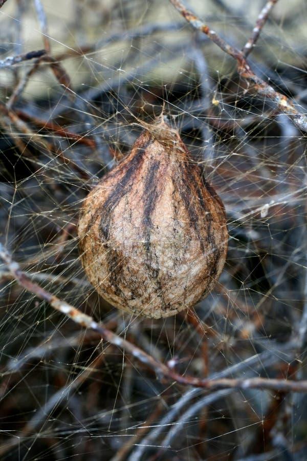 Free Spider S Egg Sac Royalty Free Stock Photo - 16173515