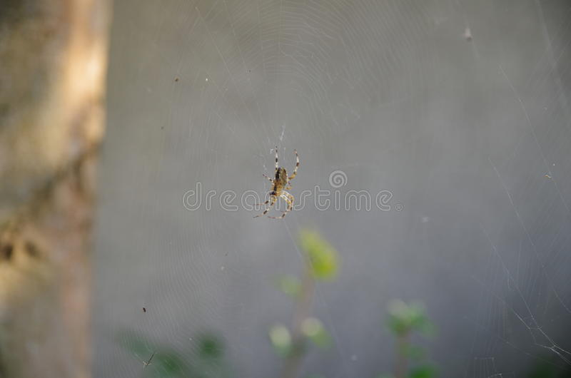 Spider in net_1. A spider in it`s net stock image