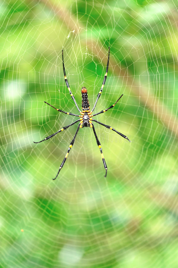 Download Spider with its web stock photo. Image of green, forest - 25148674