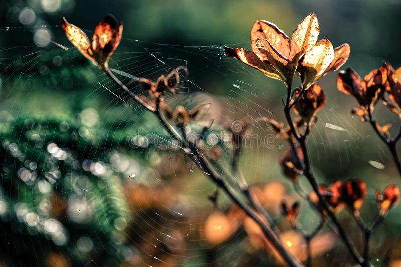 Spider`s web stretched between tree branches with autumn leaves lit by sunset sunlight stock images