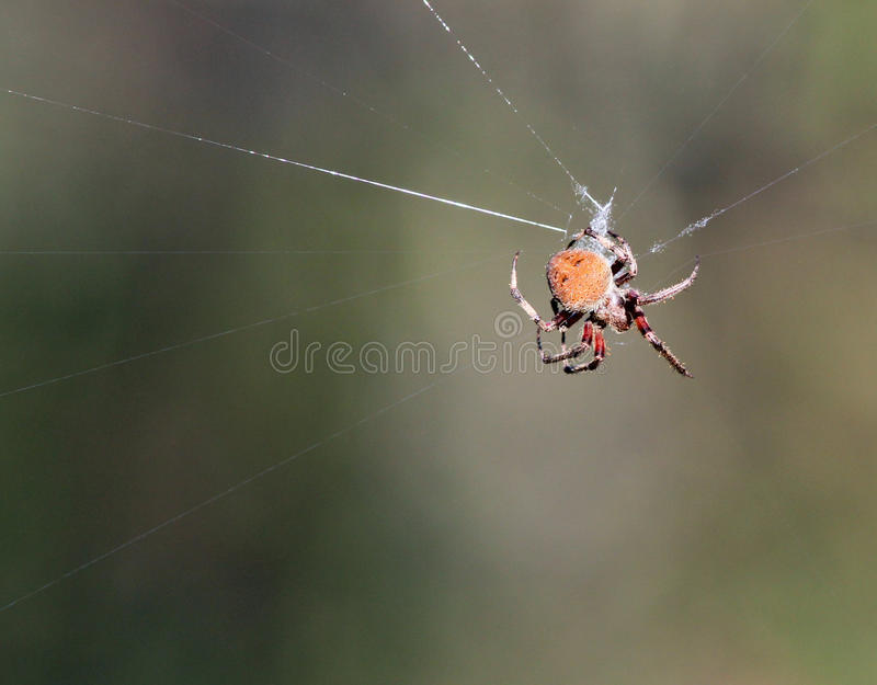 Download Spider stock photo. Image of outside, nature, animal - 30772510