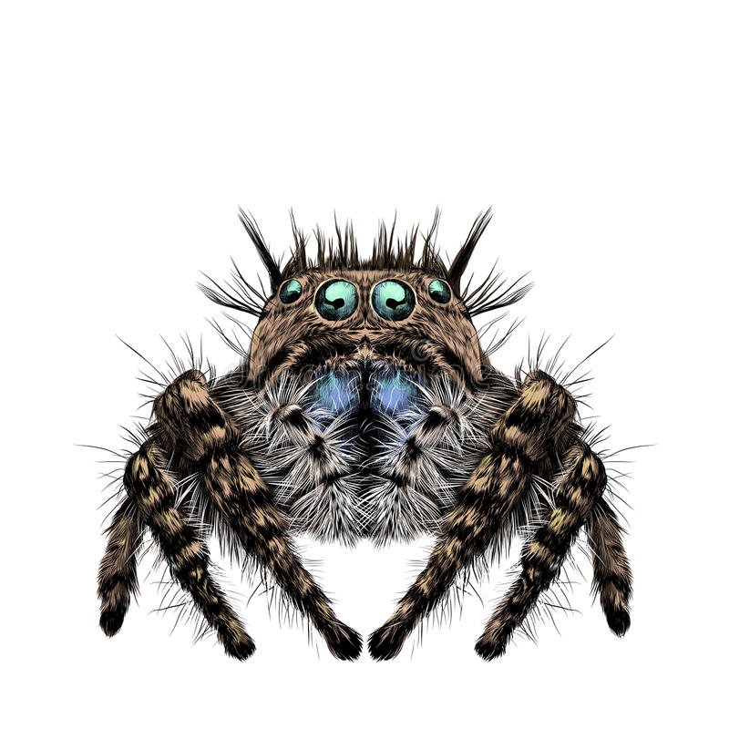 Spider sketch drawing. The spider has many eyes, hairy legs, symmetrical sketch drawing graphics color picture royalty free illustration