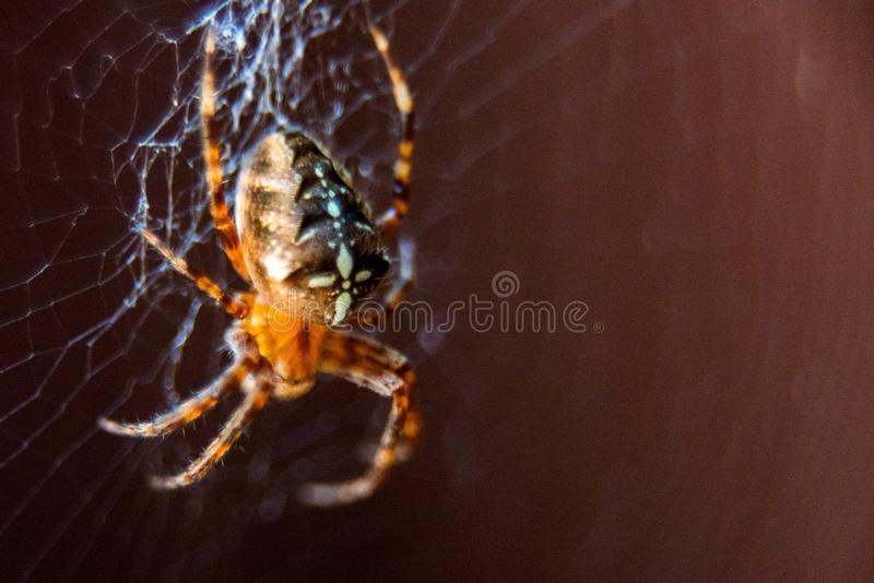 The spider species Araneus diadematus is commonly called the European garden spider, diadem spider, cross spider and crowned orb. Weaver, web, animal, closeup stock images
