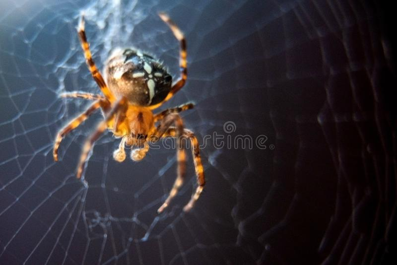 The spider species Araneus diadematus is commonly called the European garden spider, diadem spider, cross spider and crowned orb. Weaver, web, animal, closeup stock image