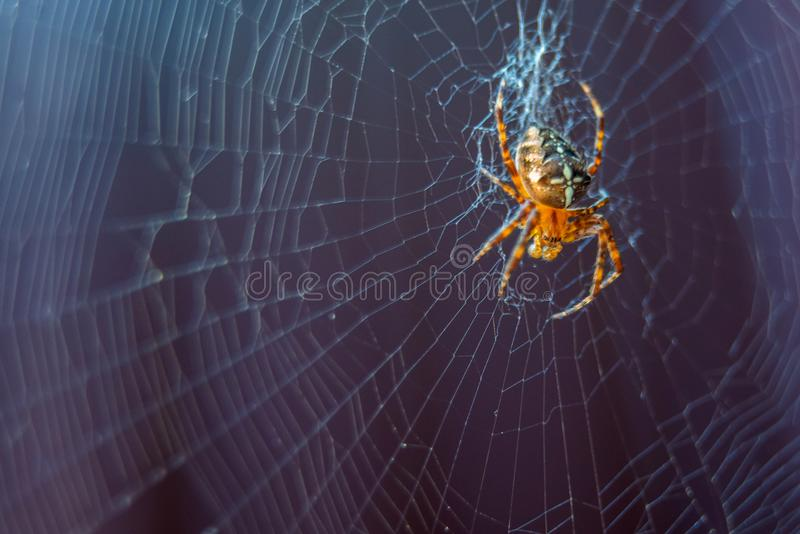The spider species Araneus diadematus is commonly called the European garden spider, diadem spider, cross spider and crowned orb. Weaver, web, animal, closeup royalty free stock images