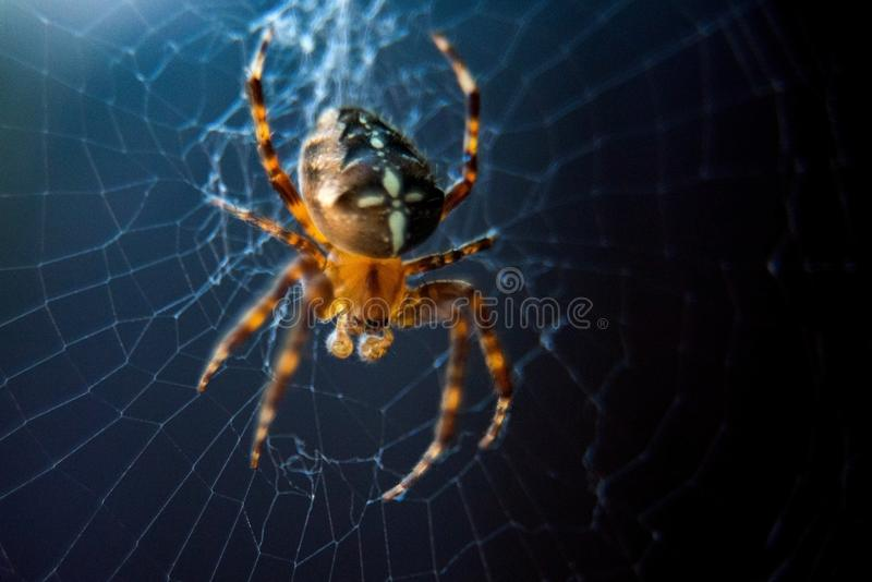 The spider species Araneus diadematus is commonly called the European garden spider, diadem spider, cross spider and crowned orb. Weaver, web, animal, closeup royalty free stock photography