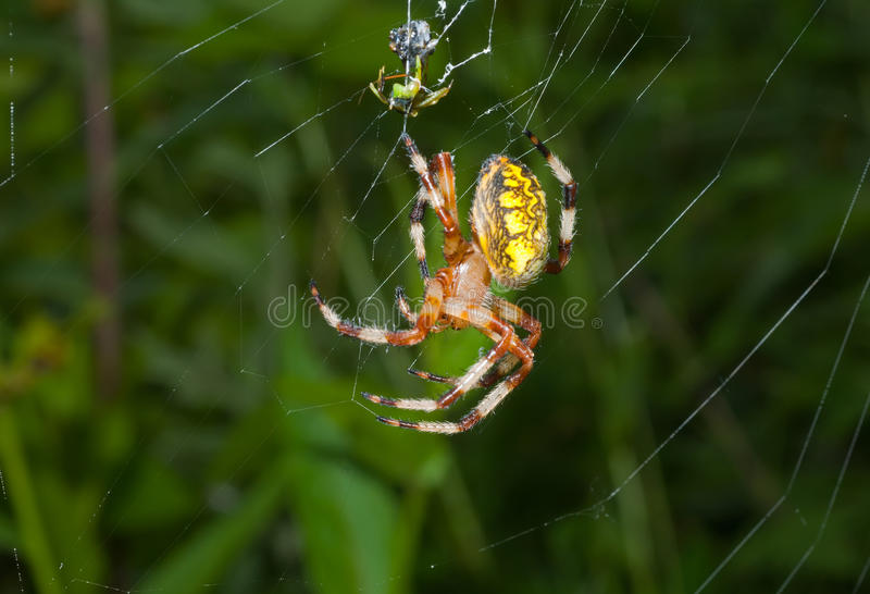 Download Spider on spider-web 19 stock photo. Image of close, wilderness - 16393976