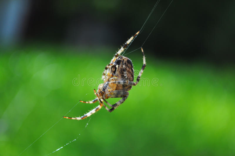 Spider spinning web stock photos