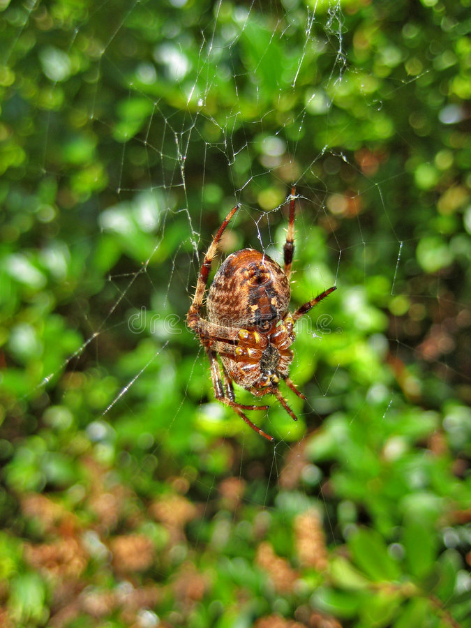 Spider Spinning Web Stock Image