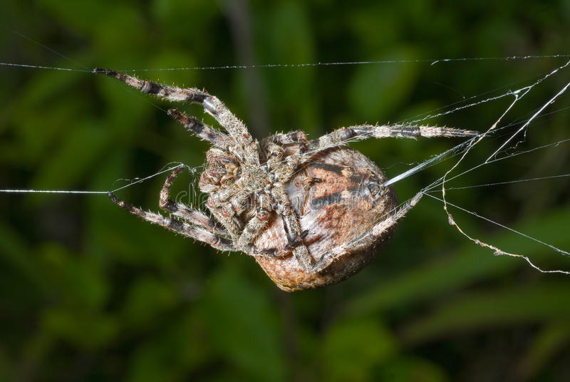 Download Spider spins spider-web 12 stock photo. Image of macro - 14364028