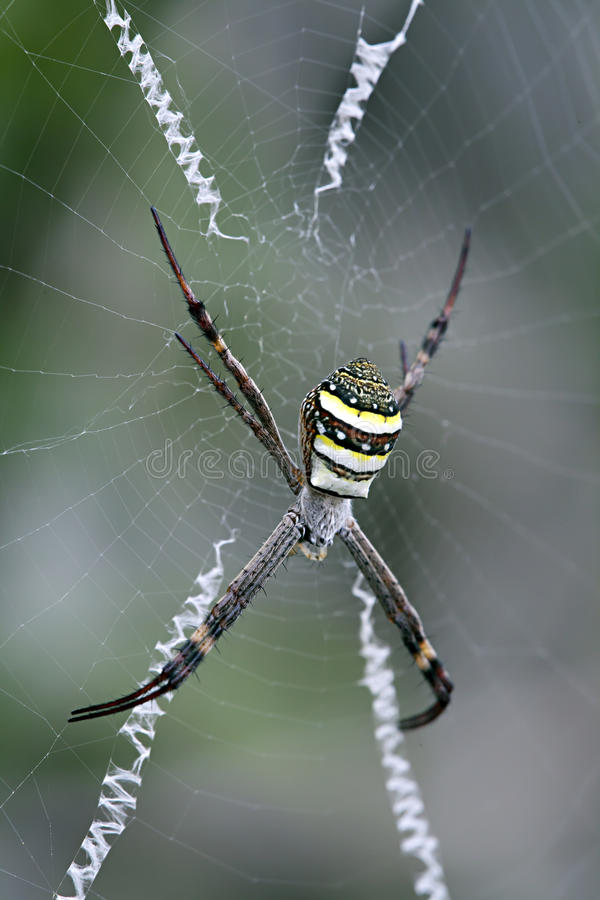 Free Spider, St Andrew S Cross, Argiope Keyserlingi, Female Royalty Free Stock Photo - 35395155