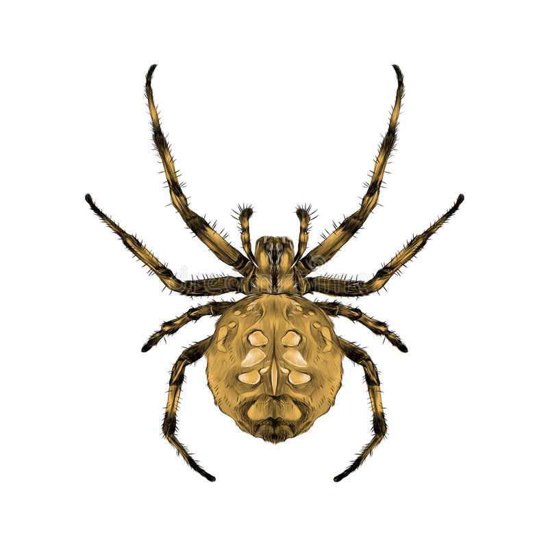 Spider symmetrical top view sketch vector. A spider with spots on the back brown symmetrical top view sketch vector graphics color picture vector illustration