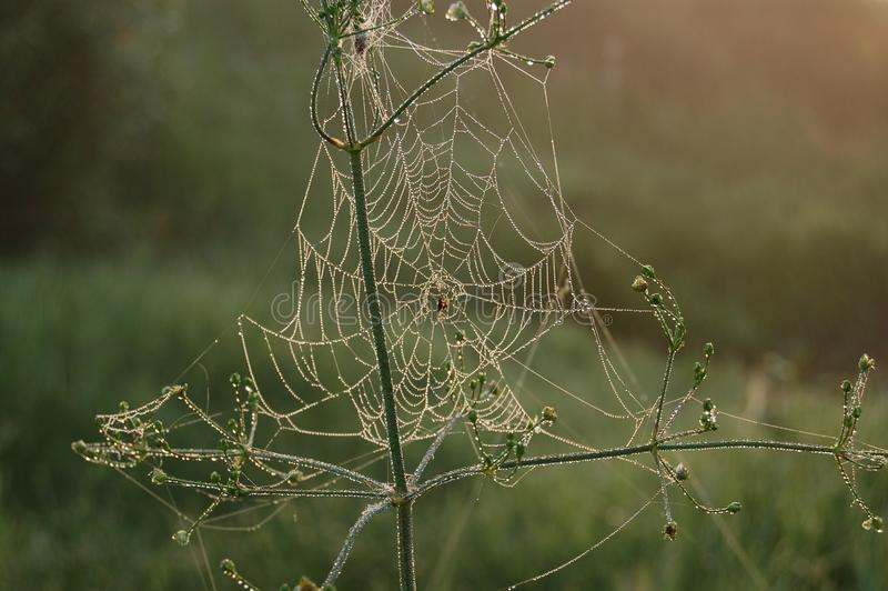 The spider is waiting for the dawn royalty free stock images