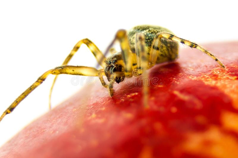 Spider walking on an apple royalty free stock image
