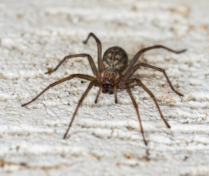 Spider on the wall lat. Tegenaria domestica. royalty free stock photo