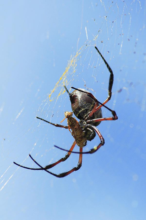 Spider With Wasp Caught In Web Royalty Free Stock Image