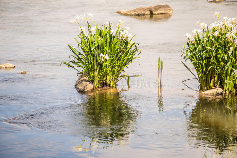 Spider water lilies in landsford state park south carolina royalty free stock photos