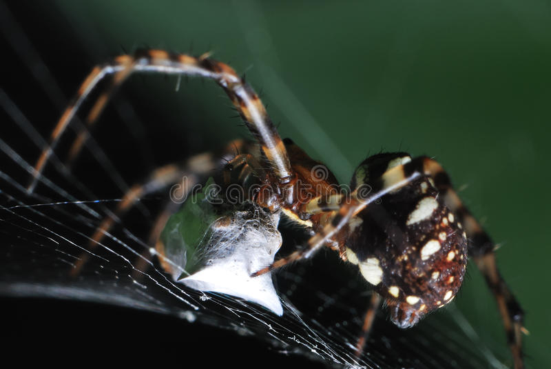 Spider weaving a cocoon from a captured prey stock image