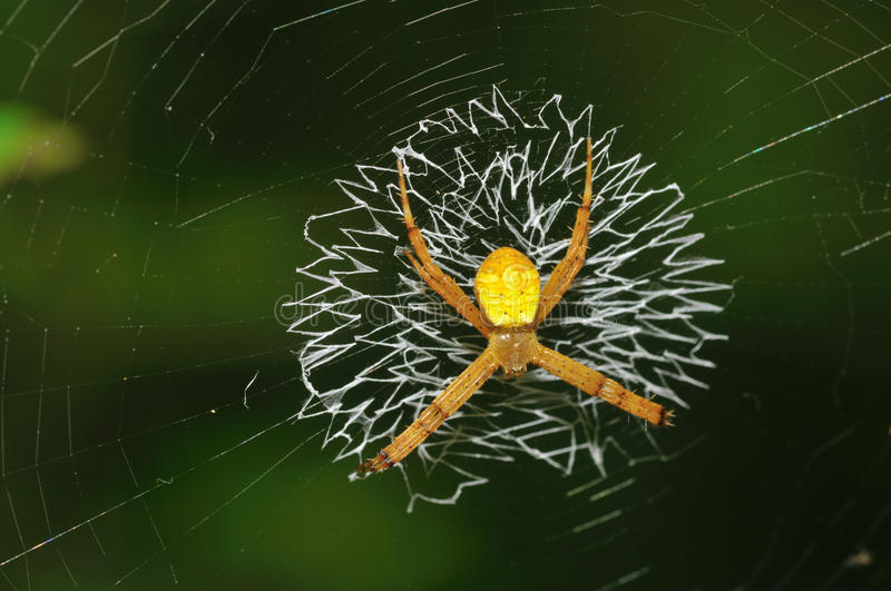Spider on Web. The spider is waiting on it web, waiting for preys to fly by stock photos