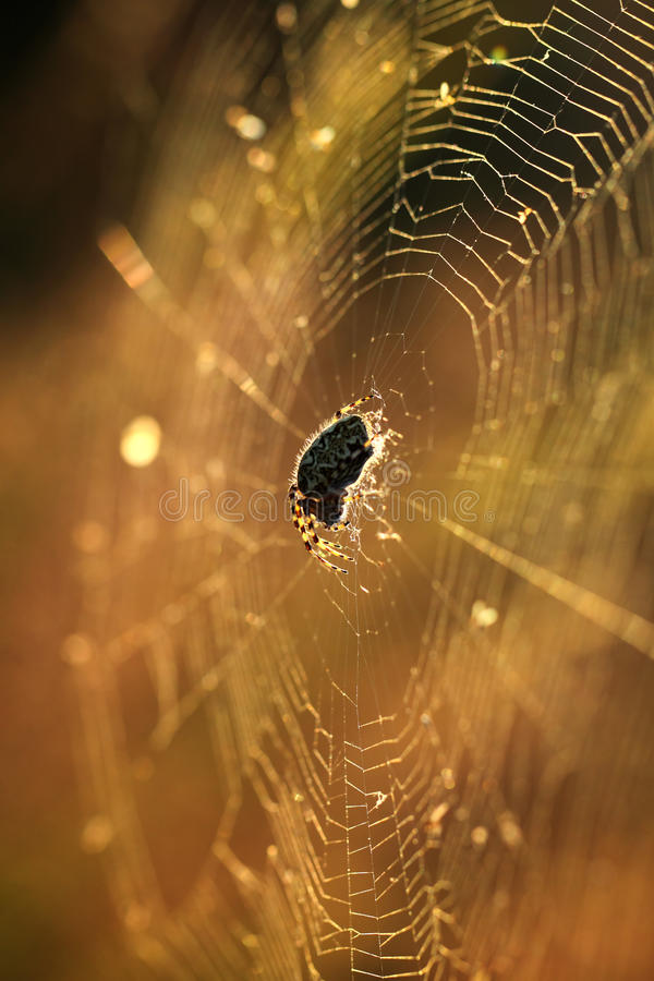 Download Spider on web stock image. Image of nature, insect, sunshine - 25716953
