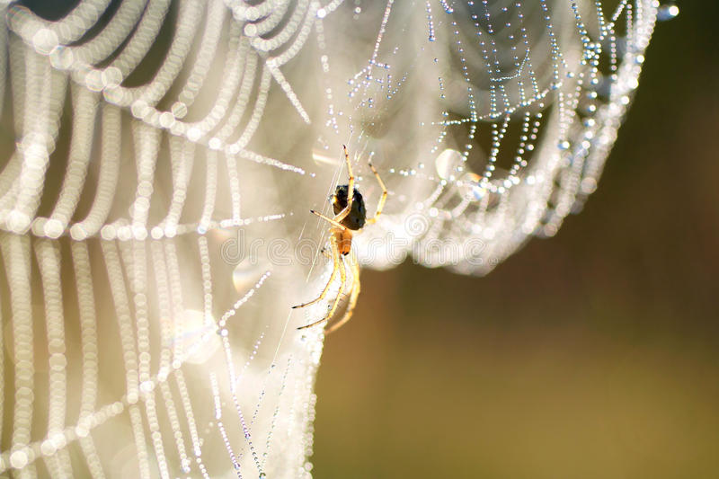 Spider on web. With water drops stock photography